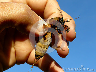 Mole cricket in hand