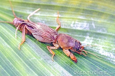Mole cricket insect