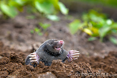 Mole in ground