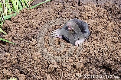 Mole head.