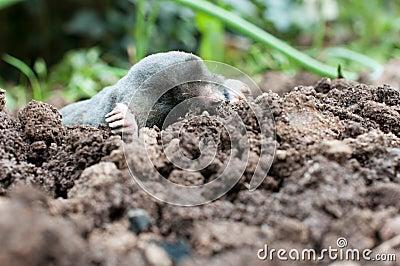 Mole in a soil