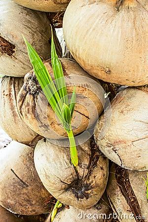 Molte noci di cocco