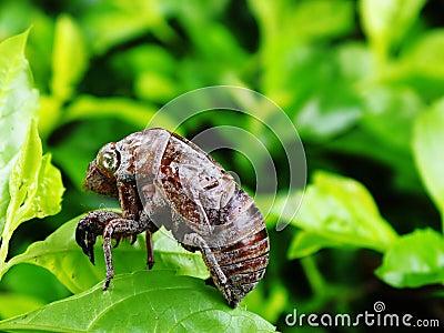 Molted cicada skin