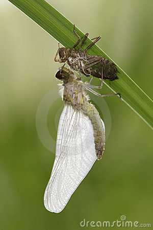 Molting Dragonfly