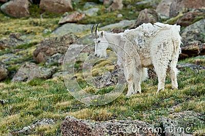 Molting Goat