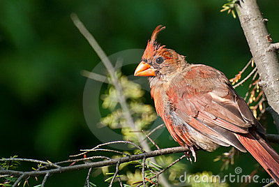 Molting Northern Cardinal