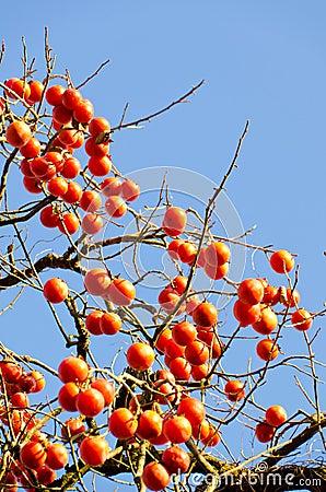 Molto albero di cachi maturo della frutta fotografia stock for Albero di cachi