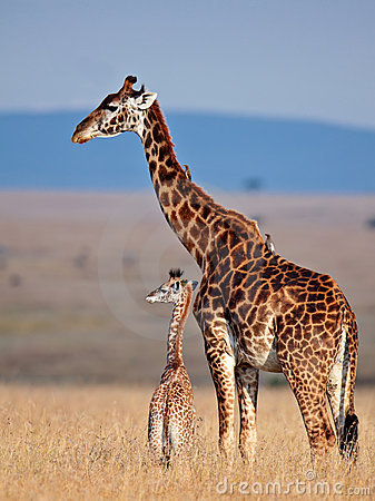 Free Mom Giraffe And Her Baby In Savanna Stock Photos - 15611253