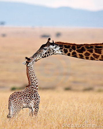 Mom giraffe kiss her baby