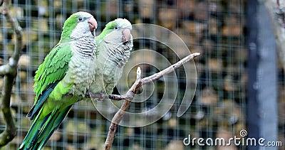 Monaco Parakeet Couple archivi video