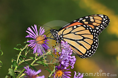 Monarch On Alpine Aster