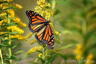 The Monarch of Butterflies