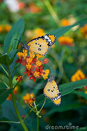 Free Monarch Butterflies Royalty Free Stock Photography - 2049177