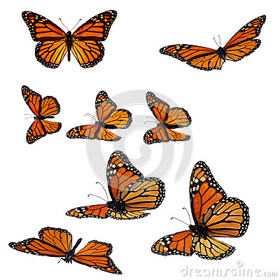Free Monarch Butterflies Royalty Free Stock Photos - 33566908