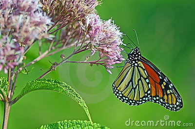 Monarch butterflies on the flower