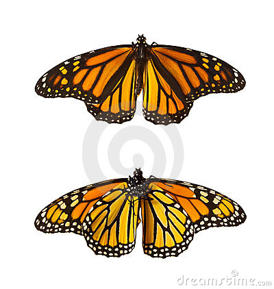 Free Monarch Butterflies, Isolated Royalty Free Stock Image - 2100586