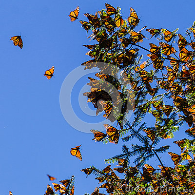 Free Monarch Butterflies On Tree Branch In Blue Sky Background Royalty Free Stock Images - 61376069