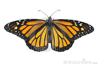 Monarch butterfly isolated on a white background