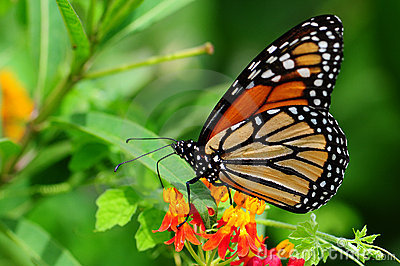 Monarch butterfly standing on milkweed in a south florida garden