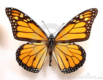 Monarch Butterfly Royalty Free Stock Image - Image: 195726