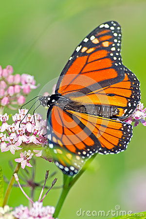 Free Monarch Butterfly Royalty Free Stock Image - 26676016