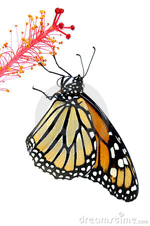 Free Monarch Butterfly Stock Photography - 312442