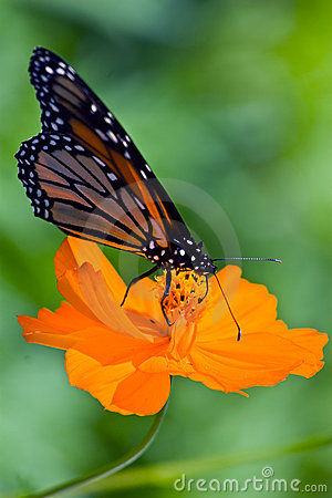 Free Monarch Butterfly Stock Photo - 6155860