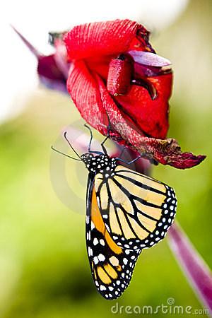 Free Monarch Butterfly Stock Photography - 6885312