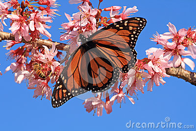 Monarch Butterfly and bee on blossom