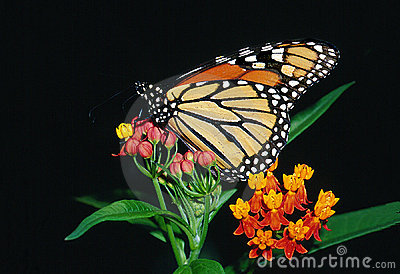 Monarch Butterfly on Bloodflower