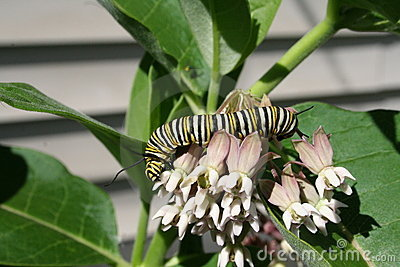 Monarch Butterfly Caterpilar on Milkweed
