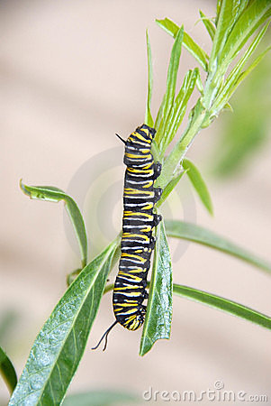 Free Monarch Butterfly Caterpillar Royalty Free Stock Photo - 15202865