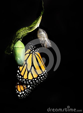 Free Monarch Butterfly Clinging To Empty Chrysalis Stock Photo - 134115910