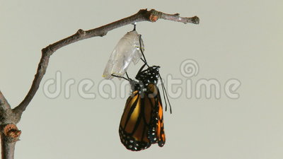 Monarch butterfly emerges chry. Timelapse of a Monarch Butterfly emerging from the chrysalis