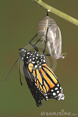 Free Monarch Butterfly Emerging From Its Chrysalis Royalty Free Stock Images - 2010769