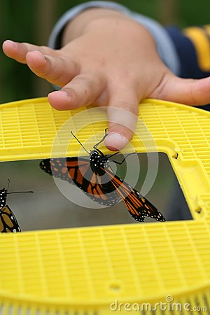 Monarch butterfly emerging from a yellow cage