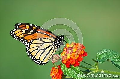 Monarch Butterfly Feeding on Lantana