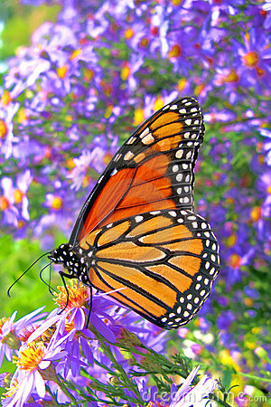 Free Monarch Butterfly Feeding On Purple Flowers Pollen Royalty Free Stock Photos - 14514558