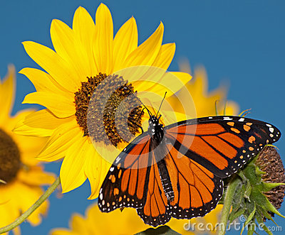 Monarch butterfly feeding on a sunflower