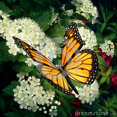 Monarch Butterfly On Flowers