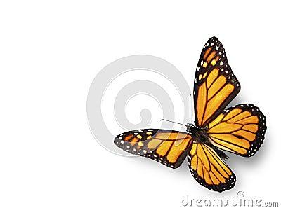 Monarch Butterfly Flying in Corner