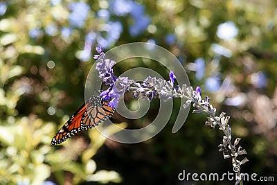 Monarch Butterfly I