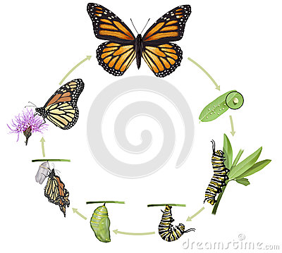 Free Monarch Butterfly Life Cycle Stock Image - 54204061