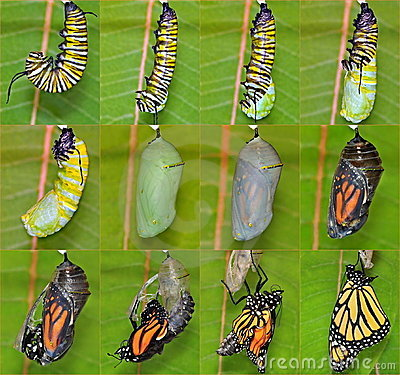 Free Monarch Butterfly Life Cycle &x28;Danaus Plexippus&x29; Stock Images - 23483924