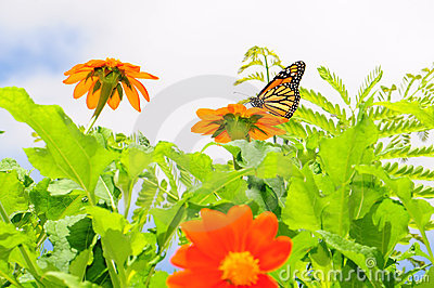 Monarch Butterfly & Mexican Sunflowers