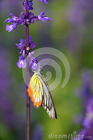 Free Monarch Butterfly On The Lavender In Garden Stock Photo - 36606900