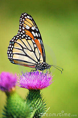 Free Monarch Butterfly On Thistle Flower Close Up Royalty Free Stock Image - 10426886