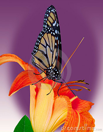 Free Monarch Butterfly On Tiger Lily Stock Photography - 997152
