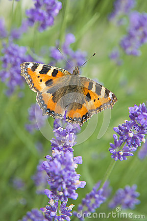 Free Monarch Butterfly On Violet Lavender Stock Image - 40781081