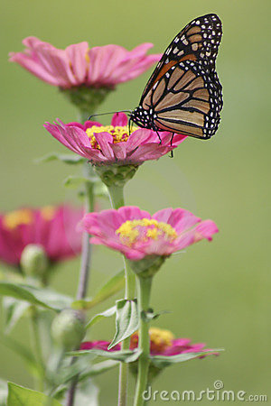 Free Monarch Butterfly On Zinnia Royalty Free Stock Photos - 1803018